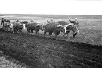 Налоги были огромными: с одной коровы – 250 литров молока в месяц