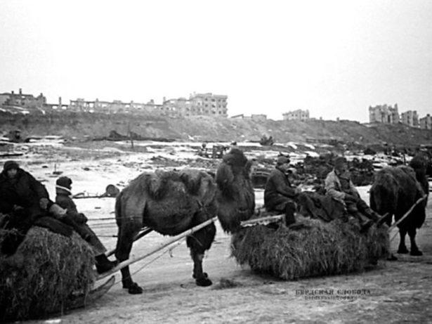 Доставка воинских грузов в район Сталинграда на верблюдах