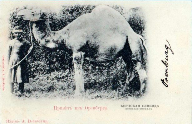 Одногорбый верблюд на оренбургской открытке начала XX века