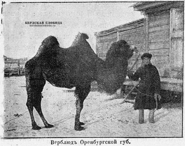 Верблюд Оренбургской губернии