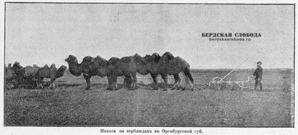Пахота на верблюдах в Оренбургской губернии