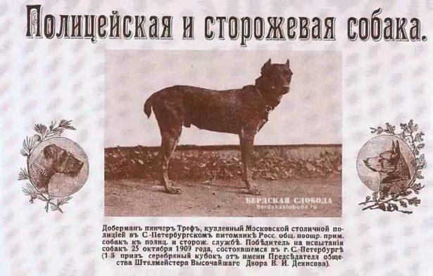 Полицейская собака доберман Треф